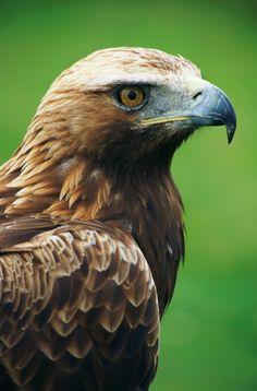 mystic-revelations:    Golden eagle Yala Sri Lanka (by Sri Lanka 'One Island.Many Worlds')
