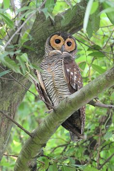 The Spotted Wood Owl (Strix seloputo) is an owl of the earless owl genus, Strix. Its range is strangely disjunct; it occurs in many regions surrounding Borneo, but not on that island itself. (by Myron Tay) Owl Photos, Owl Pictures, Nocturnal Birds, Wood Owls, Beautiful Owl, Owl Bird, Tier Fotos, Pretty Birds, Birds Of Prey