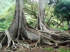 Moreton Bay Fig Trees - Jurassic Park at Allerton National Tropical Botanical Garden in Poipu
