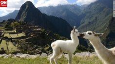 CNNTravelPhoto: Two llamas share a tender moment at Machu Picchu http://cnn.it/1fh3jJC  (via CNN iReport on Twitter)