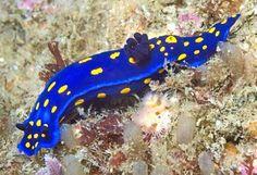 Nudibranch...