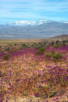 Wetter-Phänomen: Die Atacama-Wüste erblüht in einem Meer aus lila Blumen