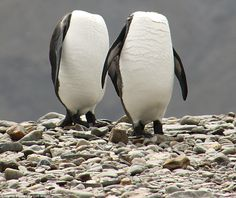 These penguins clearly couldn't face being photographed by Charles Kinsey, so they hid their heads – completely