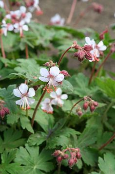Plants for under trees: Geranium macrorrhizum 'Album' is a vigorous, rhizomatous perennial to 35cm tall, with aromatic, rounded, deeply lobed leaves, often turning red in autumn, and flowers 25mm wide, with near-white petals, prominent stamens, and contrasting deep pink calyces.