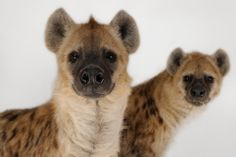 SPOTTED HYENA Dispatch Labor of Love Crocuta crocuta ©Joel Sartore The spotted hyena, also known as the laughing hyena or tiger wolf, is a species of hyena native to Sub-Saharan Africa. It is listed as Least Concern by the IUCN on account of its. Animals Of The World, Animals And Pets, Baby Animals, Cute Animals, Wild Animals, Exotic Animals, Petit Tattoo, African Wild Dog, Wild Dogs