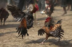 Roosters attack each other during a fight at the Jonbeel festival in India