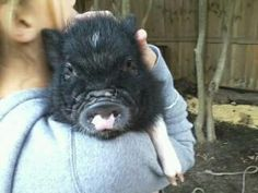 Miniature Potbelly Pig, Chubby Charlie at his new home! They just love him!