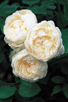 'Glamish Castle' | David Austin Rose