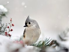 Snow White Tufted Titmouse Nature Prints Bird by ChristinaRolloArt