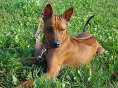 A list of rare dog breeds and so many more to be discovered. Fascinating collection of the most diverse land animal species made by man, some very ancient. All About Animals, Animals And Pets, Cute Animals, Big Dogs, Dogs And Puppies, Doggies, Thai Ridgeback, Dog Toilet, Rare Dog Breeds