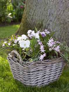 Container #garden with starry pink glory-of-the-snow weaving through white pansies. bhg.com