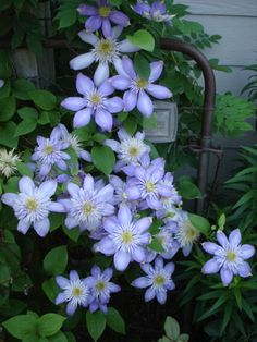 Blue Light double clematis on my old garden gates