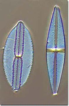 Diatoms are microscopic algae composed of separate halves, with delicate siliceous cell walls.