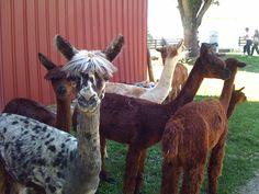 R8 Mt. Tabor Alpaca Farm (Aurora, Dearborn County)
