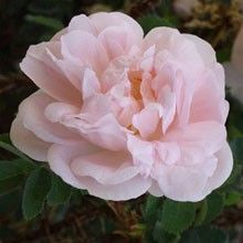 Stanwell Perpetual Pretty, Flowers, Plants, Gardens, Florals, Plant, Flower, Tuin, Bloemen