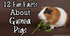 My personal favorite...#5 Guinea pigs are small social creatures that require each other's company -- here are more facts about them. http://healthypets.mercola.com/sites/healthypets/archive/2014/05/14/12-guinea-pig-facts.aspx