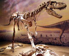 Gorgosaurus, the Royal Tyrrell Museum. Dinosauria, Saurischia, Theropoda, Tyrannosauroidea, Tyrannosauridae. Auteur : Sebastian Bergmann, 2004.