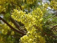 Peltophorum Africanum  flowers       African Weeping Wattle           Huilboom          5-10 m  (15)           S A no 215