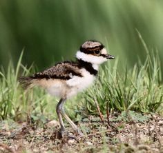 Baby Killdeer, there are a family of these in the back parking lot at work in our wilderness. So cute.
