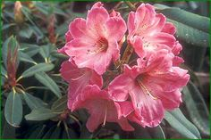 Rhododendron 'Cranberry Swirl' §
