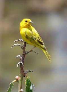 Confira lindas fotos de canário-da-terra e compartilhe com seus amigos! Pretty Birds, Beautiful Birds, Canario Da Terra, Rare Birds, Mundo Animal, Colorful Birds, Decor, Yellow Birds, Kinds Of Birds