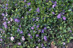 RHS Plant Selector Vinca minor 'Azurea Flore Pleno' (d) AGM / RHS Gardening