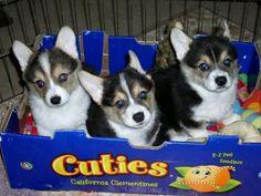 Cute corgi puppies--half of a six pack! Cute Corgi Puppy, Corgi Funny, Corgi Dog, Puppy Love, Cute Puppies, Cute Dogs, Puppies Puppies, Awesome Dogs, Corgi Facts