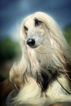 Afghan Hound (by Alyat)