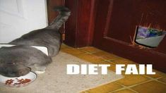 ideas for diet funny hilarious fat cats Funny Cute, Cat Fails, Funny Fails, Crazy Cat Lady, Crazy Cats, Humor Animal, Epic Fail Photos, Funny Animals, Hilarious Pictures