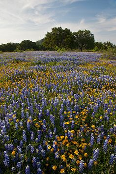 """Blue and Gold"" Llano County, Texas Spring brings bluebonnets and Huisache daisies to the Texas Hill Country. Miss Llano soo many memories! Flowers Nature, Wild Flowers, Beautiful Flowers, Beautiful World, Beautiful Places, Prairie Meadows, Wildwood Flower, Wild Flower Meadow, Texas Bluebonnets"