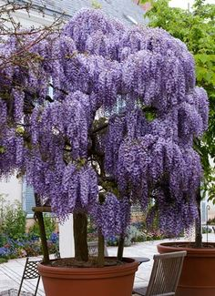 Purple Wisteria Tree Purple Wisteria Tree (grows in zone Drought tolerant so you don't have to water Pest & disease resistant- no spraying! Fragrant blooms you can smell from a distance The post Purple Wisteria Tree appeared first on Easy flowers. Garden Trees, Lawn And Garden, Trees To Plant, Bonsai Trees, Trees In Pots, Potted Trees Patio, Backyard Trees, Purple Wisteria, Purple Flowers