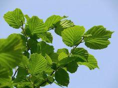 Corylus avellana -Орешник лесной.