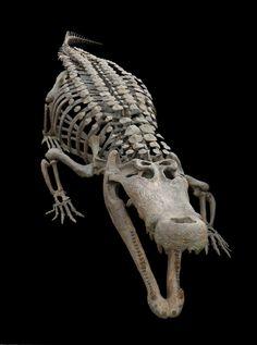 Deinosuchus , 30 foot Crocodilian Skeleton on Behance