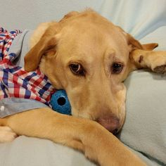 Nothing can come between us (not even mom and dad) - me and my blue ball... #goldenretriever #labrador #biscuit #cuteoverload #love #tshirt #dogshirt #dogshirts #BiscuitHiew #dogsofperth #australia #perth #me #cute #goldensonofinstagram #instadog #instapets #scratch #ilovedog #retrieverstagram #talesofalab #dailydogpost_#satudaynight #bored #drunk #goodnight by biscuithiew #lacyandpaws