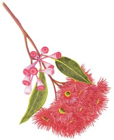 biology ilustrations Excellent pollen and honey, Corymbia ficifolia or Red flowering gum is well known honey plant in Australia. An illustrated guide to Australias gum blossoms - Australian Geographic Australian Wildflowers, Australian Native Flowers, Australian Plants, Australian Icons, Australian Bush, Bee Illustration, Floral Illustrations, Botanical Illustration, Botanical Flowers