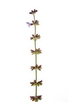 El que resiste, gana Tallo floral de salvia verbenaca o gallocresta. Camino de Casalobos. Picón