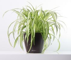 Chlorophytum, Spider Plants, Orchids, Garden, Flowers, Houses, Plants, Garten, Lawn And Garden