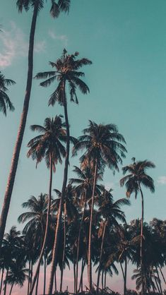Tall Palm trees ~ wallpaper/background/lock screen