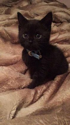 Cool Cute Black Cats And Kittens If you are looking for Cute black cats and kittens you've come to the right place. We have collect images about Cute black cats and kittens including . Tucked In Missi Hello There Bright People Are You Catlover Or Cute Baby Cats, Cute Cats And Kittens, Cute Little Animals, Cute Funny Animals, Kittens Cutest, Funny Kittens, Kittens Meowing, Ragdoll Kittens, Tabby Cats