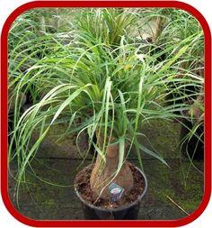 Consigli su come coltivare e prendersi cura della pianta Beaucarnea conosciuta anche come Pianta Mangiafumo o Nolina.