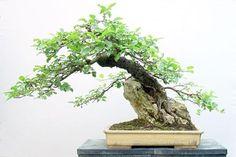 The Art of Bonsai Project - Critique: Nick Lenz's Root-Over-Rock Apple