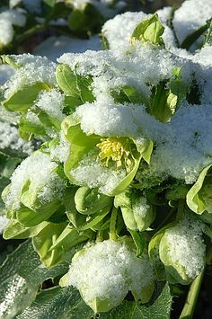 Hellébore de Corse sous la neige, Parc floral de Paris (75), photo Marre Frédéric / Rustica