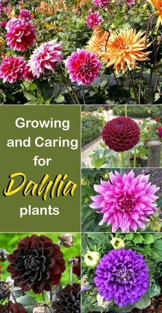 Organic Gardening Supplies Needed For Newbies How To Grow Dahlia Plants Growing And Caring Dahlia Nature Bring - Naturebring Flowers In Autumn Planting Dahlias, Growing Dahlias, Perennial Flowering Plants, Garden Plants, Perennials, How To Grow Dahlias, How To Plant Flowers, Sun Garden, Fence Garden