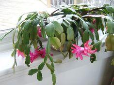 plantes-intérieur-fleurs-cactus-Noel-rose