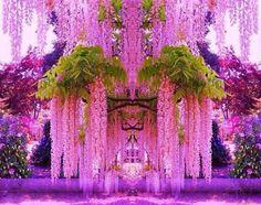 Цветущая глициния. Сад Кавати Фудзи, Япония