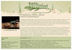 Halsbandleguan - kompakte Übersicht der Haltungsbedingungen. Unsere Karteikarten können auch zum Beschriften von Terrarien verwendet werden. Ausführliche Haltungsinformationen zur Haltung von Halsbandleguanen gibt es auf www.reptilienland.com