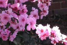 Flor de Cereja - Ao falar em flores orientais, uma das primeiras que vêm à mente é a flor de cerejeira. Pequena, delicada e branca com detalhes no tom que batiza a flor, essa espécie também é conhecida como sakura na outra porção do globo