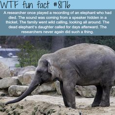 WTF Fun Facts is updated daily with interesting & funny random facts. We post about health, celebs/people, places, animals, history information and much more. New facts all day - every day! Elephant Day, Elephant Facts, Elephant Love, Animals And Pets, Baby Animals, Funny Animals, Cute Animals, Wild Animals, Baby Hippo
