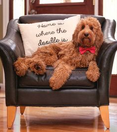 Home is where the doodle is ❤ ____________________________ - Tap the pin for the most adorable pawtastic fur baby apparel! You'll love the dog clothes and cat clothes! Goldendoodle Grooming, Medium Goldendoodle, English Goldendoodle, Labradoodles, Goldendoodles, Cockapoo, Cute Puppies, Cute Dogs, Amor Animal