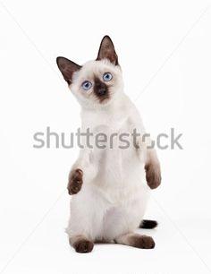 Gato tailandesa no fundo branco